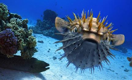 3D Pufferfish rendering